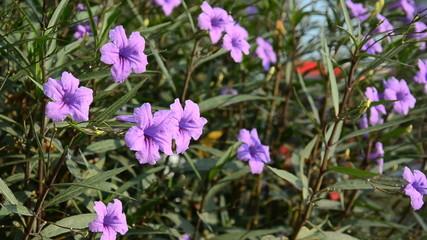 Ruellias, Ruellia squarrosa (Fenzi) Cufod, in nature. HD