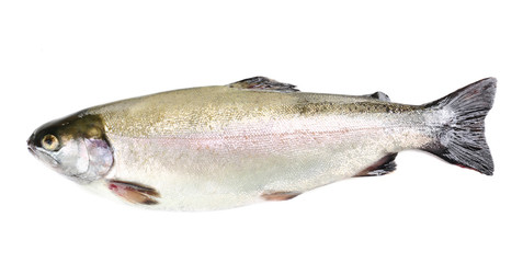 Fresh trout fish isolated on white