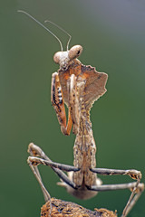 Dead Leaf Praying Mantis