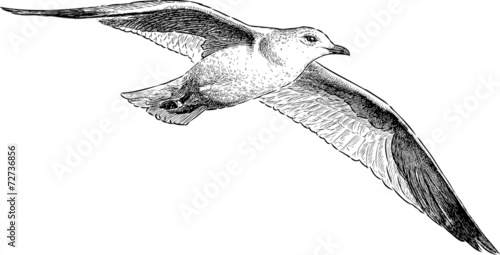 seagull in flight - 72736856