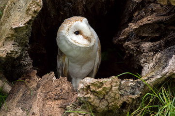 Barn Owl perched in tree trunk hollow