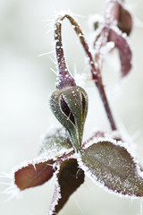 Frozen rose bud with ice crystals