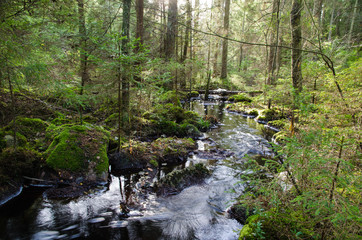 Old-growth forest with a streaming creek