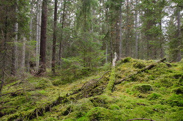 Mossy and untouched forest wilderness