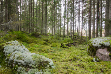 Green and mossy coniferous forest