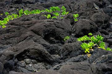 La Réunion - Scaevola et coulée de lave