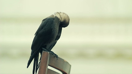 Crow on a chair