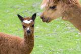 Brown alpaca (Lama or Vicugna pacos) cria