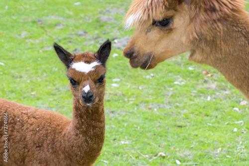 Aluminium Lama Brown alpaca (Lama or Vicugna pacos) cria