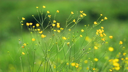 buttercup wildflower grows in meadows of Europe.
