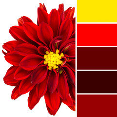 Red Dahlia and color swatches