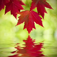 maple leaves with reflection in the water