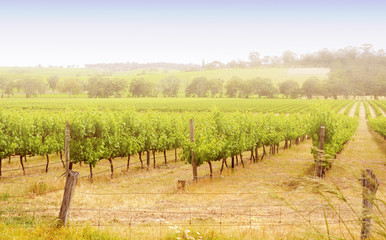 Rows of grapevines taken at Australia's McLaren Vale