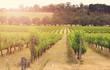 Leinwanddruck Bild - Rows of grapevines taken at Australia's McLaren Vale