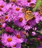 Butterfly on flower of dahlia