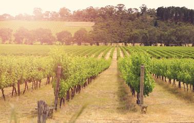 Rows of grapevines taken at Australia's McLaren Vale