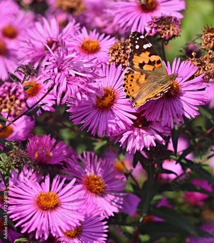 Butterfly on flower of dahlia