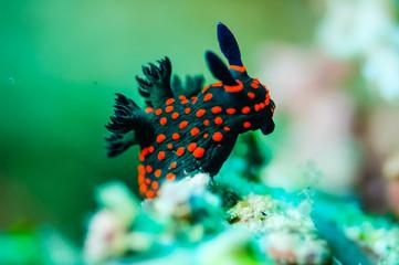 Nudibranch crawling over in Derawan, Kalimantan underwater