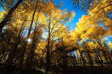 aspen forest sunset