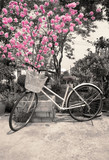 Old bicycle near blossoming tree cherry in springtime