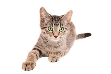 Tabby kitten reaching