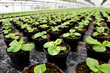 Plants being cultivated in a hothouse