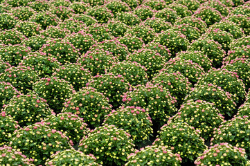 Rows of ornamental chrysanthemum plants