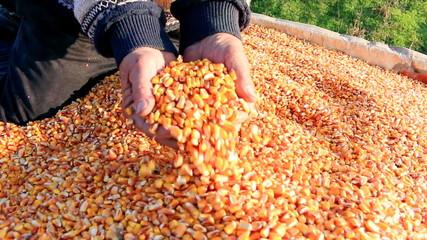 Corn grains in a hand of successful farmer