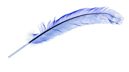 light blue feather isolated on white