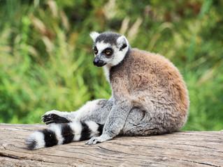 Ring-tailed lemur sitting on the tree stump