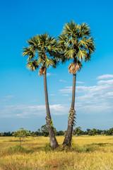 Sugar palm Thailand