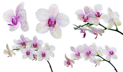 collection of isolated light orchid flowers in pink spots