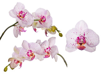 set of orchids with pink spots and lines