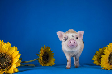 Little funny minipig on a colored background