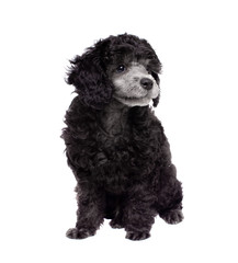 Young poodle. Sits. White background, isolated.