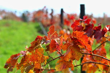 Colourful detail of wine orchad in Adelaide Hills