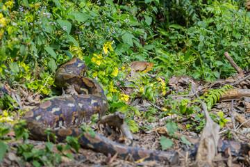 Reticulated python(Malayopython reticulatus) relaxing in nature