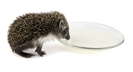 hedgehog with the dish of milk