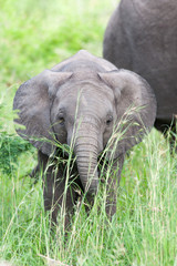 A wild newborn African Elephant playing with its trunk