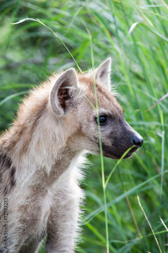 Fotobehang Hyena A wild baby Spotted Hyena standing next to its den