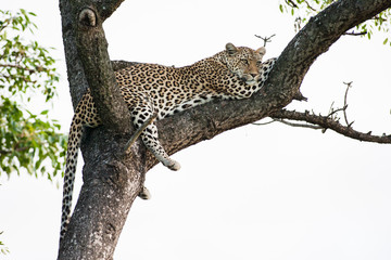 A large wild Leopard resting in a large Marula tree