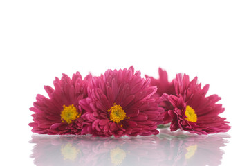 bouquet of red chrysanthemums