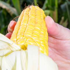 Farmer controls his corn field