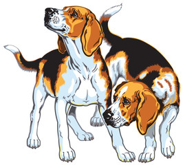 two beagle hounds