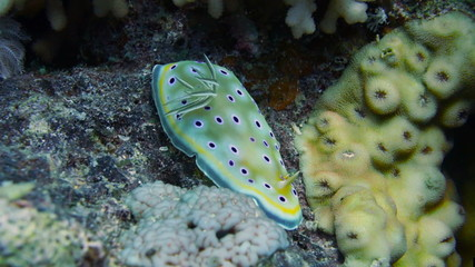 Nudibranch chromodoris africana in Red sea