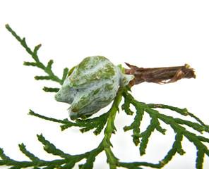 branch of thuja