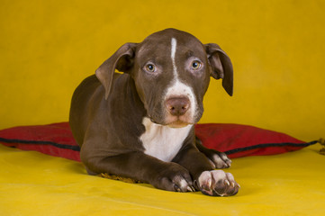 pit bull terrier puppy on yellow background