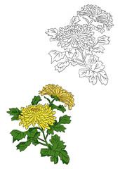 菊のイラストー線画と色付き