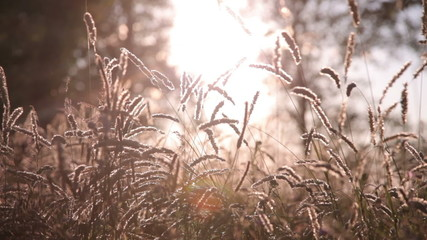 the sun s rays shine through the spikelets
