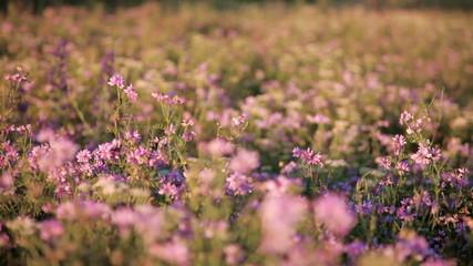 Meadow of clover